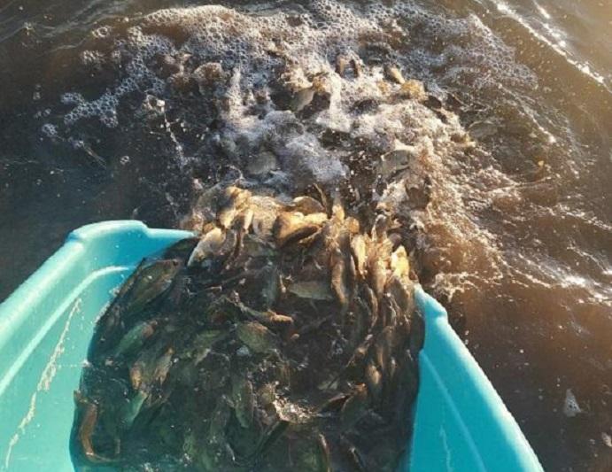 В водоемы столицы выпустили более 160 тысяч сеголеток белого амура и карпа