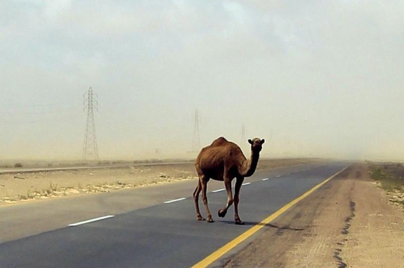 Два человека погибли при столкновении с верблюдом на трассе Актау-Жанаозен