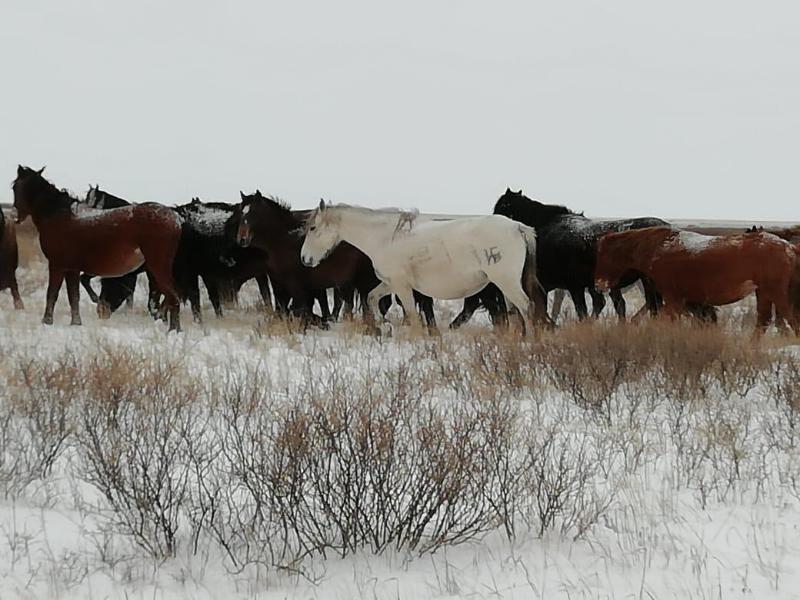 113 фактов скотокрадства зарегистрировано в Павлодарской области