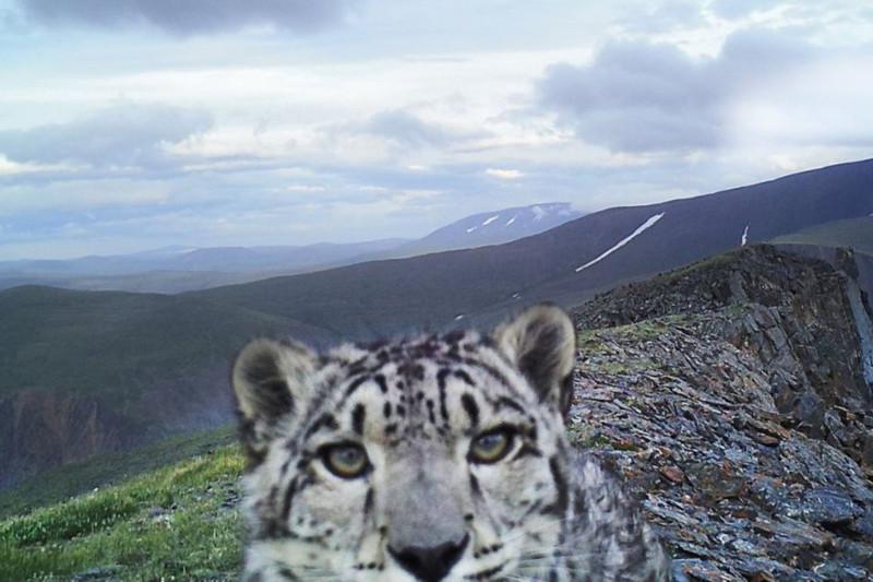 Турист украл фотоловушку для снежного барса в горах близ Алматы