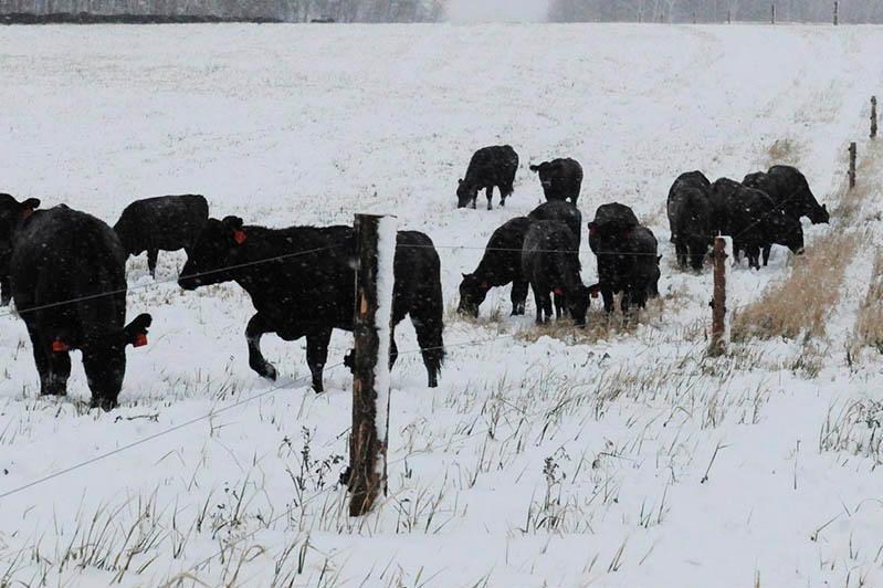 Бесконтрольный выпас скота  часто становится причиной ДТП – МВД РК