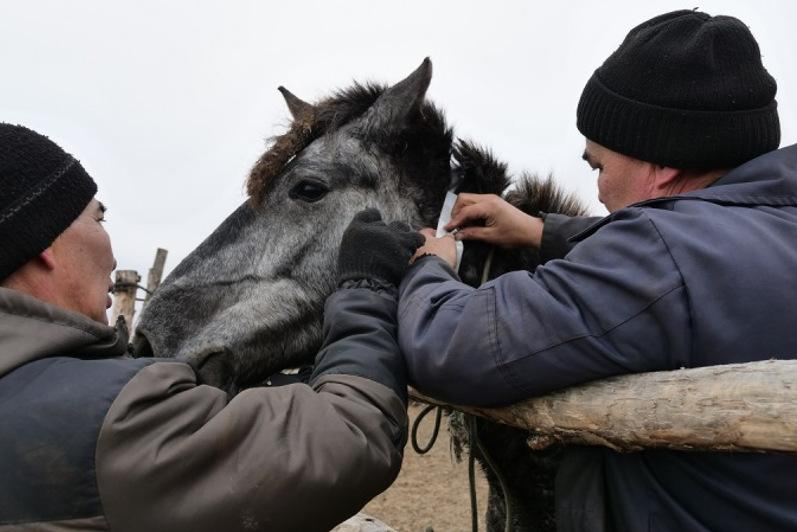 Светоотражающие ленты повязывают на лошадей в СКО