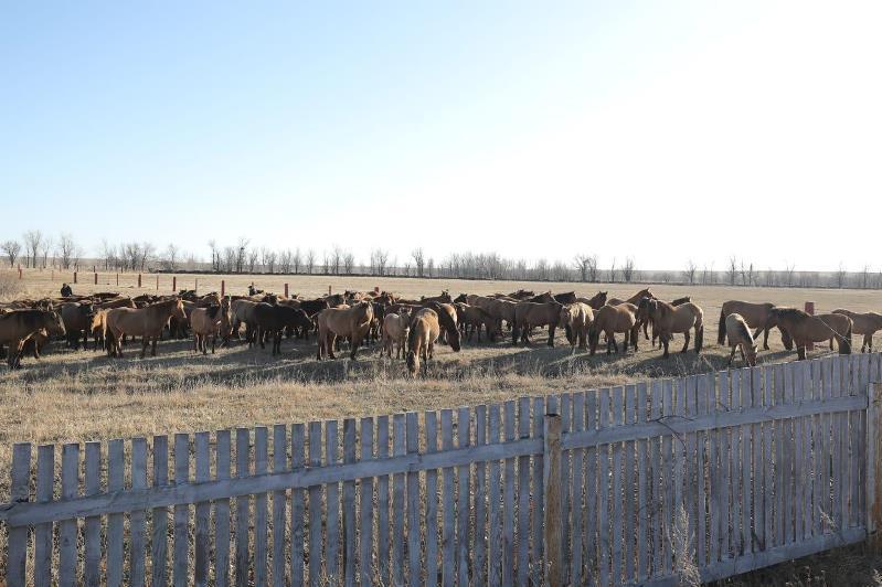 Коневодство нуждается в поддержке в Актюбинской области
