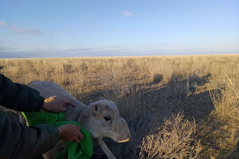 Сайгаков уральской популяции пометили спутниковыми передатчиками