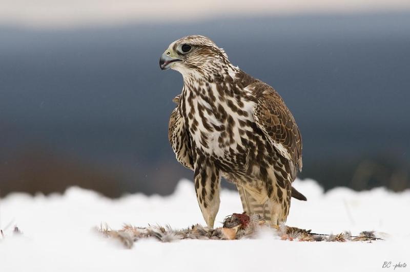 猎隼当选2020年哈萨克斯坦年度鸟类