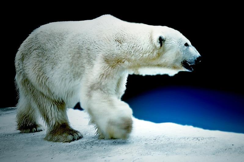 Long-living polar bear Alkor celebrates 30thanniversary at Almaty Zoo