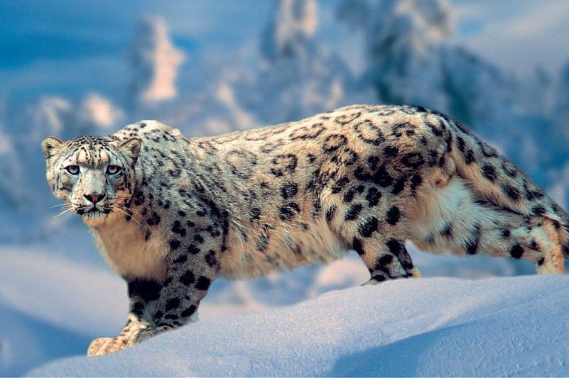 准噶尔阿拉套山国家公园发现雪豹身影