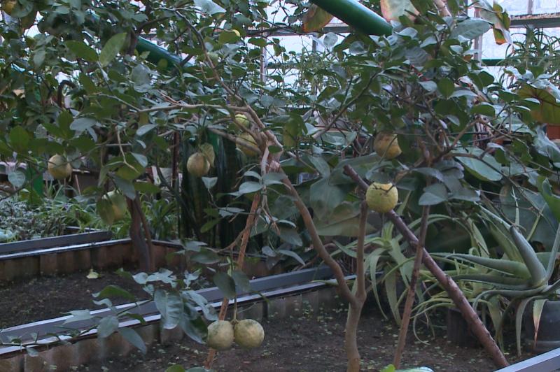 Петропавлда тропикалық жеміс ағаштары мол өнім беріп жатыр