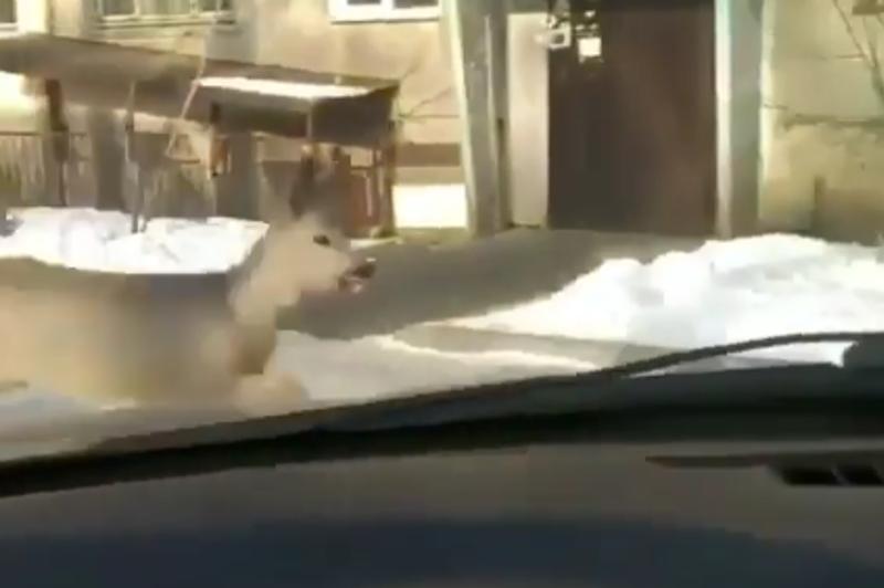 Косуля бегала по улицамУсть-Каменогорска
