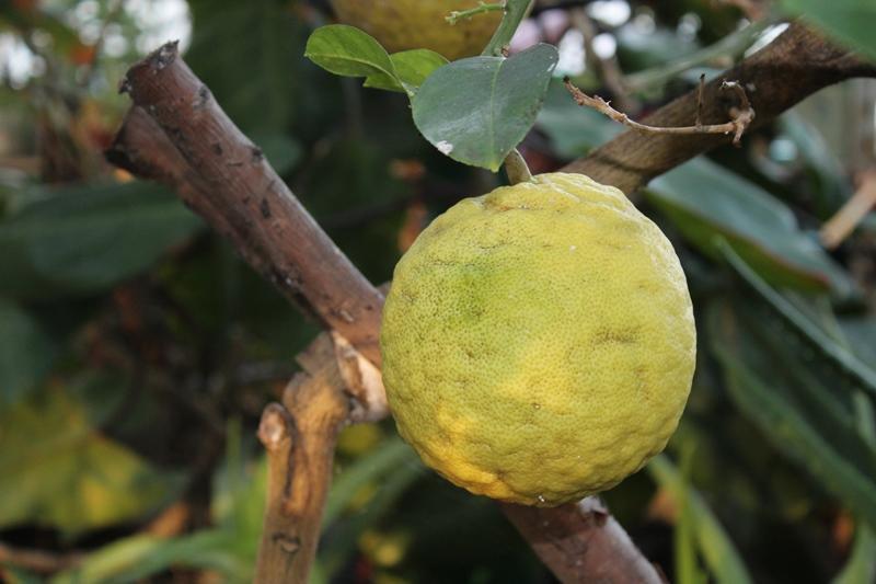 Лимоны весом в килограмм выращивают в ботаническом саду Петропавловска