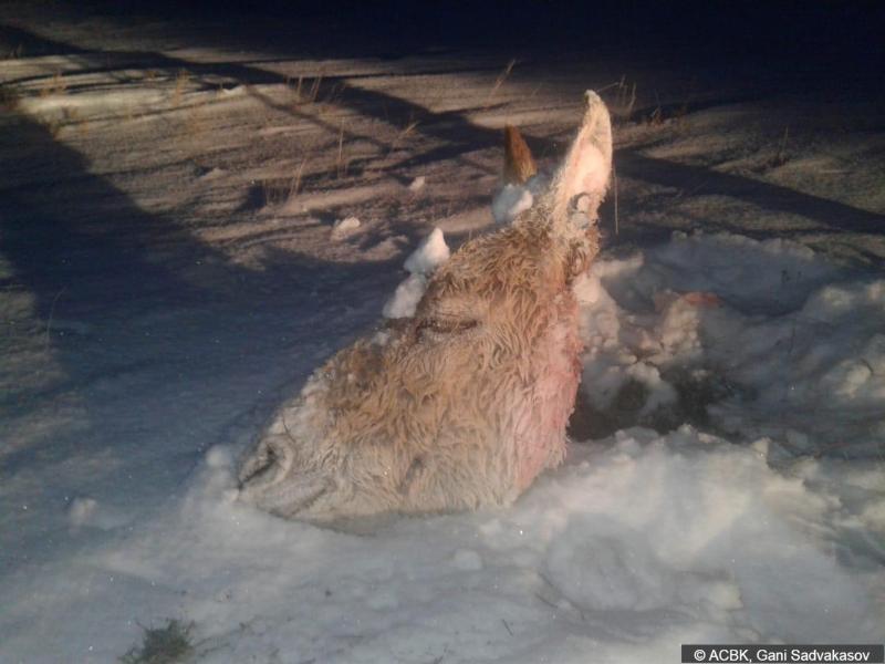Самка кулана убита браконьерами в тургайской степи