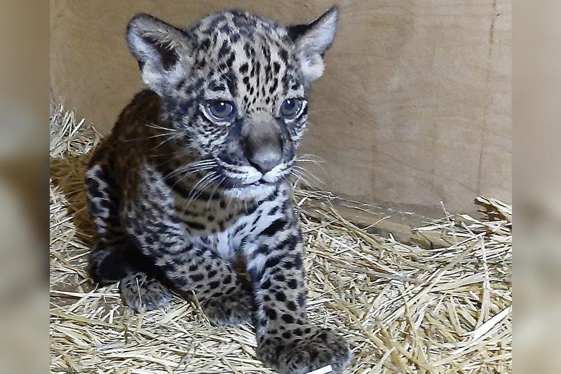 阿拉木图动物园美洲豹诞下一只幼崽