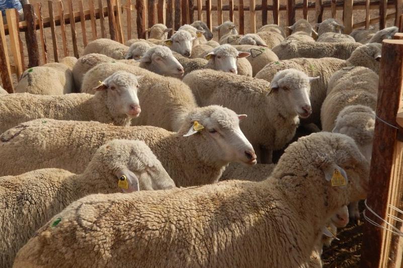 Кражу скота на 3,5 млн тенге раскрыли в Туркестанской области