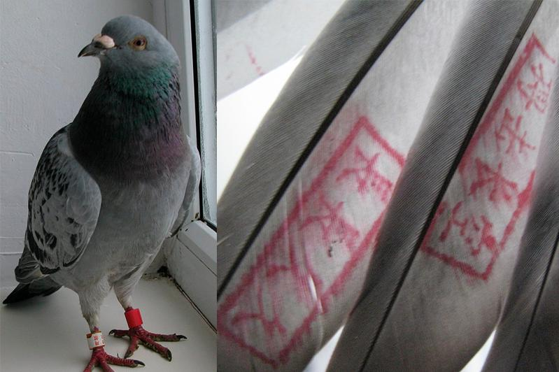 Откуда взялись сизые голуби с красными иероглифами на крыльях в Катон-Карагайском районе