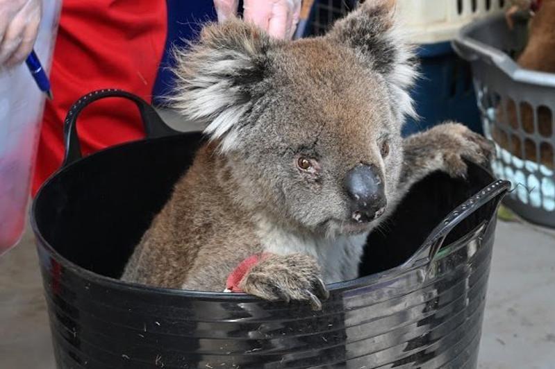 В Австралии создали импровизированный госпиталь для коал