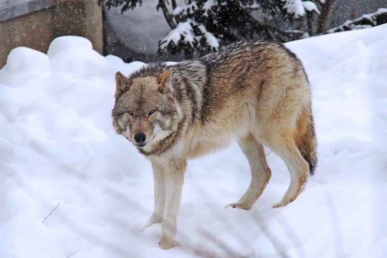 Егерь застрелил забежавшего в павлодарское село волка