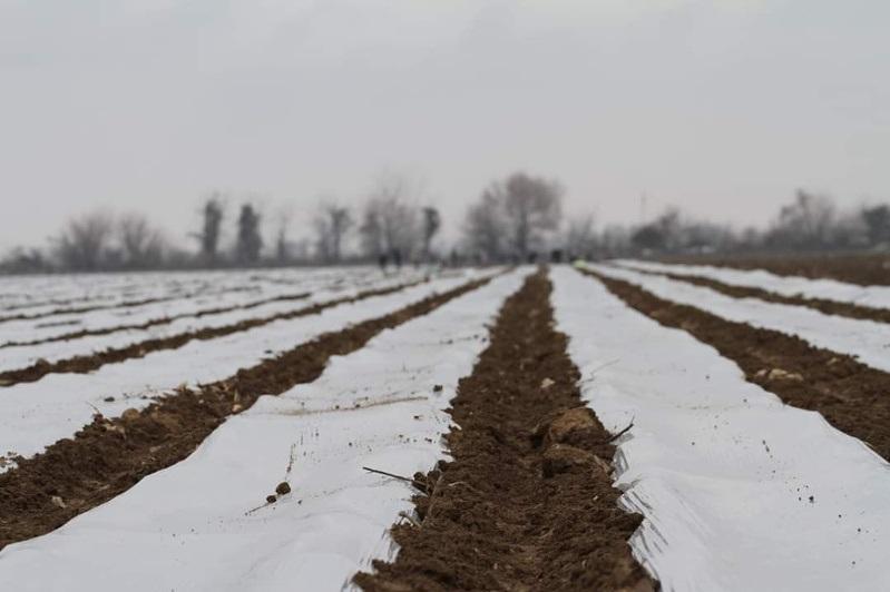 Посев капусты начали аграрии Туркестанской области