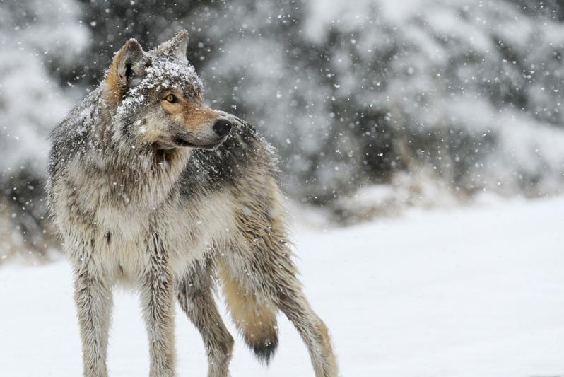 Егерская служба вовремя ликвидировала зверя - Комитет лесного хозяйства о появлении волка в Павлодарской области