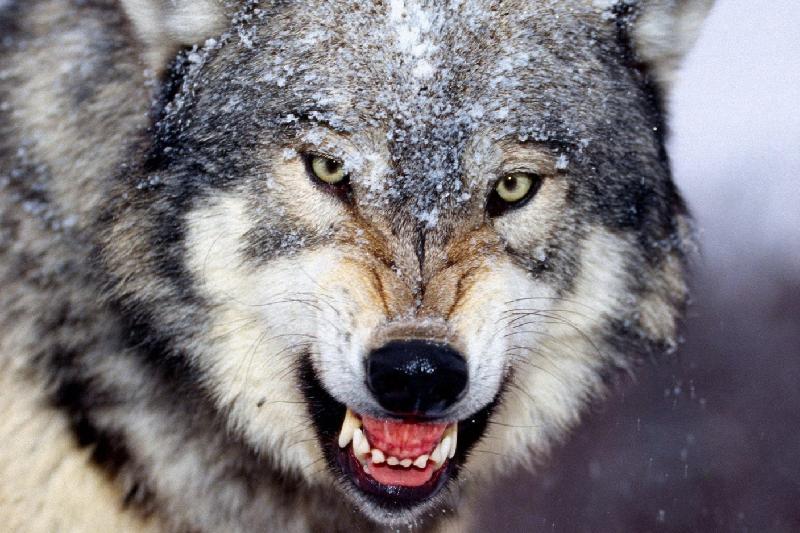 Павлодарских сельчан встревожили сообщения о «нашествии» волков