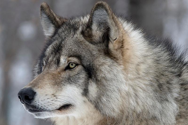 Минэкологии РК: Информация о появлении волков в столице - фейк