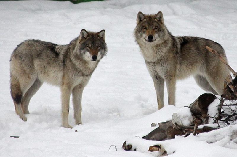 Распространителей  фейкового сообщения о волках в столице накажут