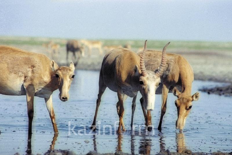 Казахстанские ученые определили пол и возраст около 23 тысяч особей сайгаков