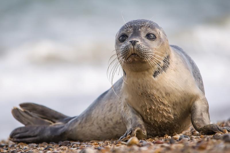 Аномальное тепло: популяция каспийских тюленей под угрозой