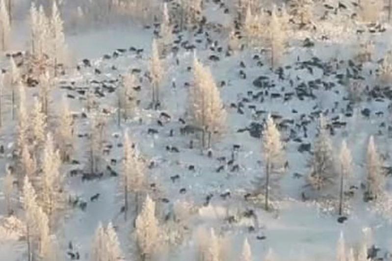 БҚО-ға Ресейден өте көп қасқыр келе жатқаны жөнінде видео жалған