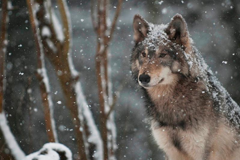 Единственная в Казахстане волчица со спутниковым передатчиком обитает в Наурзумском заповеднике