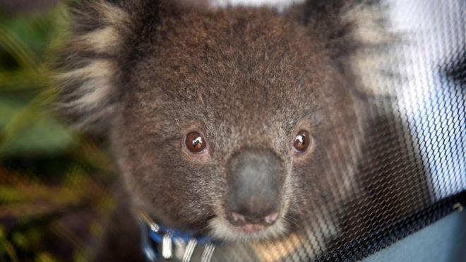 Аустралияда өлі коалалар табылды