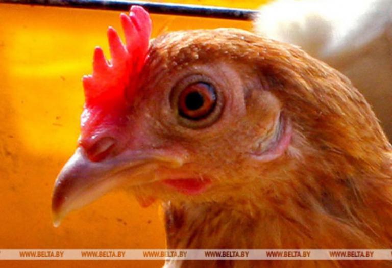白罗斯因禽流感原因限制从中国和丹麦一些区域进口家禽