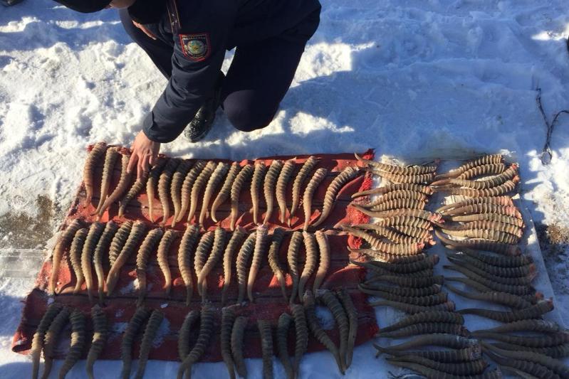 Более 100 рогов сайгака изъято у жителя Западно-Казахстанской области