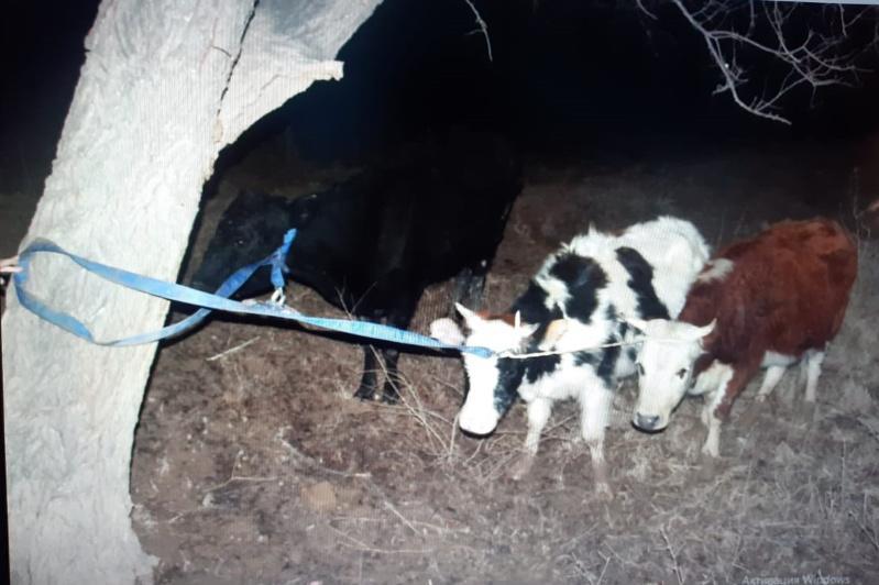 Полицейские Туркестанской области раскрыли кражувосьми корову местного жителя