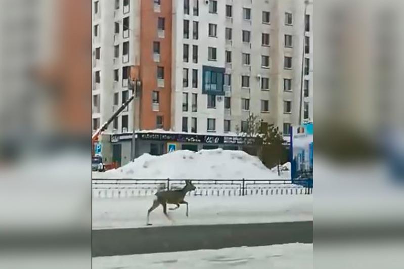 Косуля бегает в районе Экспо-городкав столице