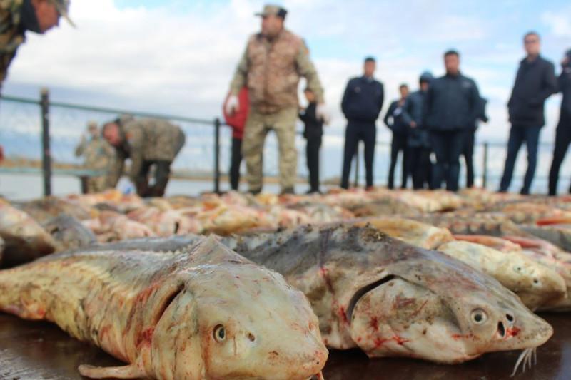 В Атырау инспекторов рыбоохраны задержали с тушами осетров