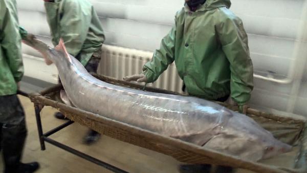 阿特劳州渔民捕获一条2.2米长近150公斤重的大鱼