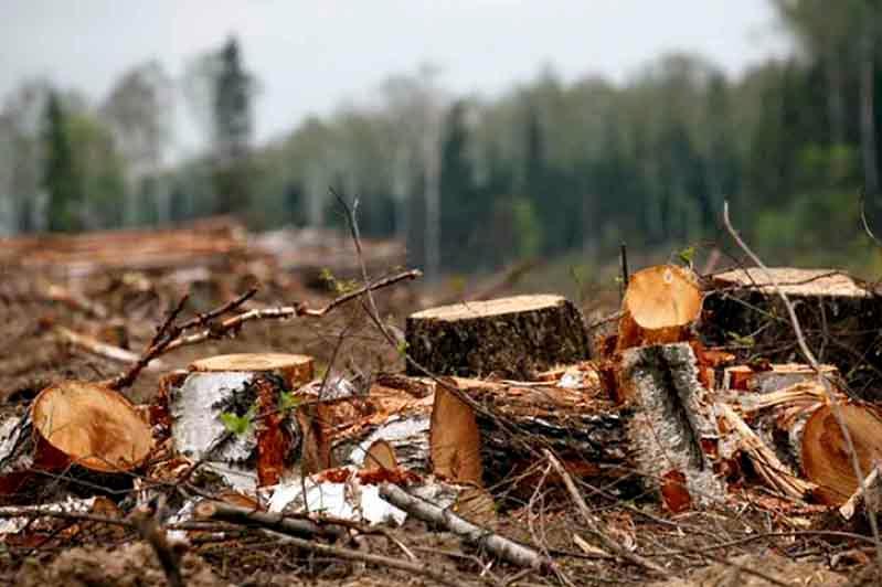 Здоровый лес вырубили из-за взяточников в СКО
