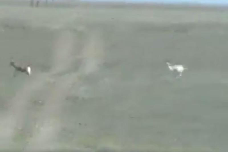 A rare albino gazelle captured on camera in Kazakhstan