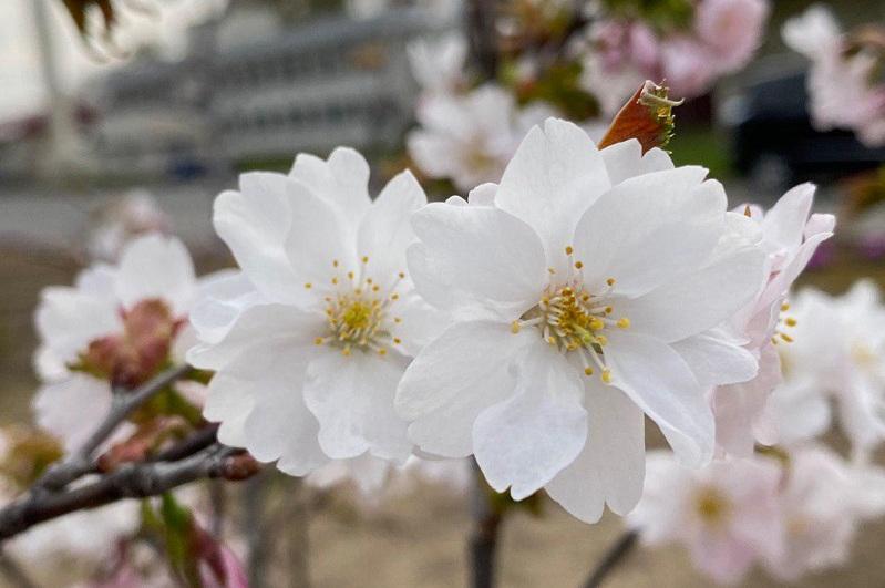 Жапонияда Қазақстан астанасының құрметіне жаңа сакура сұрпы шығарылды