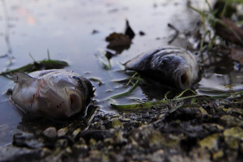 Іле өзенінде мөңке мен ақ амур балықтарының неден қырылғаны белгілі болды