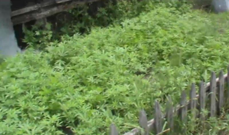 Плантацию конопли с применением капельного орошения выращивал житель Алматинской области