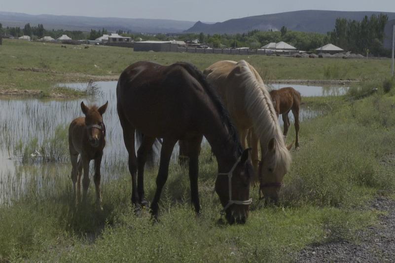 Скот на 70 млн тенге угнали в Туркестанской области
