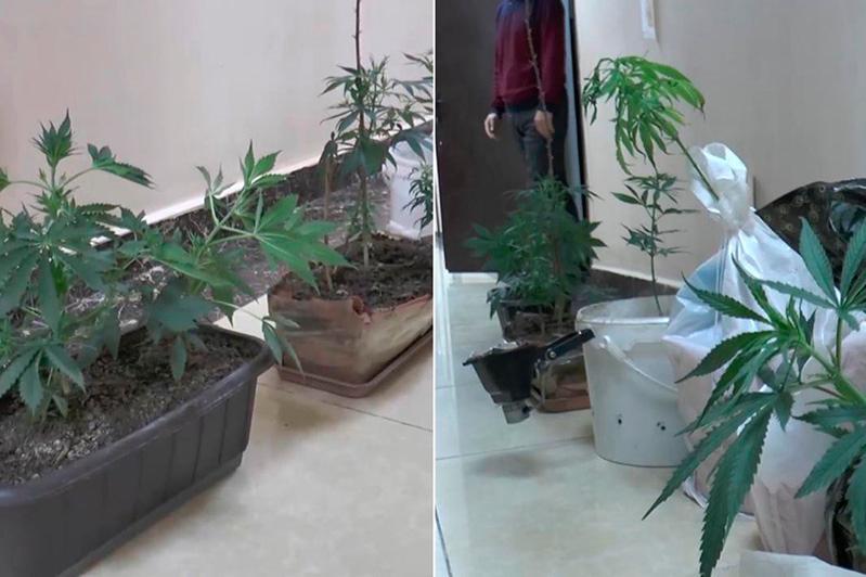 Алматыда ерлі-зайыптылар пәтерде марихуана өсірген