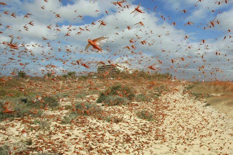 Нашествие саранчи: более 38 млн га обследуют ученые в Казахстане