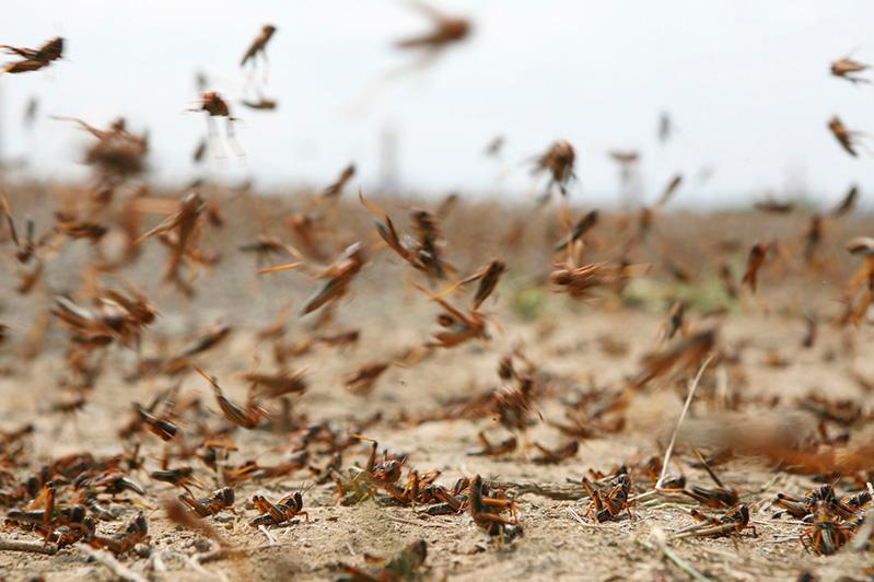 今年我国50多万公顷粮田可能将面临蝗灾威胁