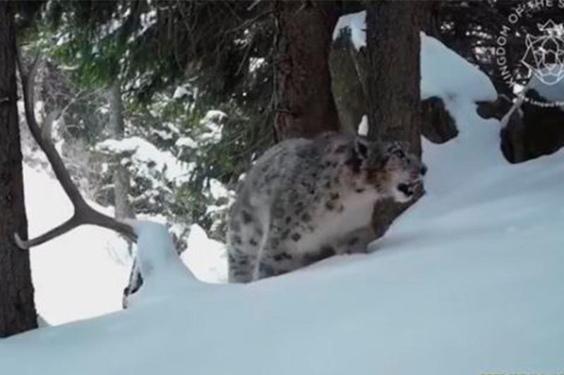 Брачные «беседы» снежных барсов записали на видео в горах близ Алматы