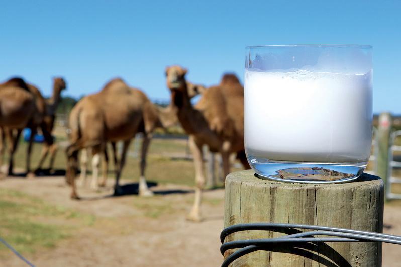 克孜勒奥尔达州的骆驼奶粉厂项目已启动