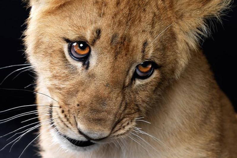 Африканского львенка конфисковали у павлодарца