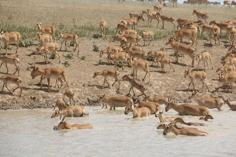 高鼻羚羊种群近五年内首次由哈向乌境内迁徙