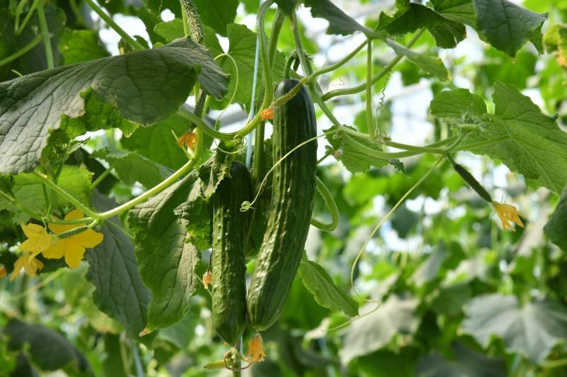 10 тысяч тонн овощей планируют собрать в теплицах Шымкента в этом году